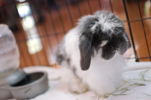 ash - Adoptable Rabbits