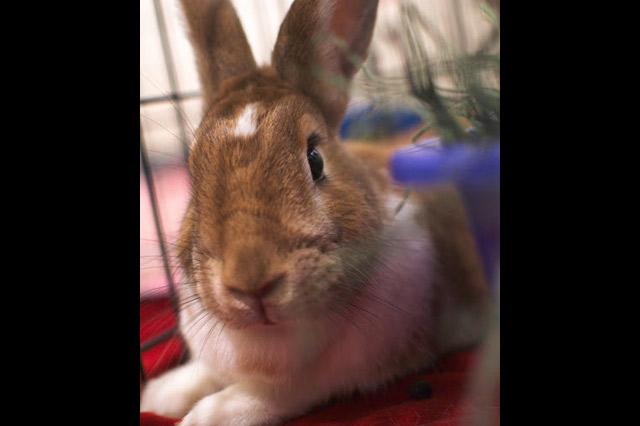 becky 1 - Adoptable Rabbits