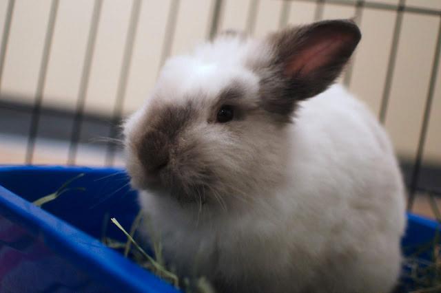 cooper - Adoptable Rabbits
